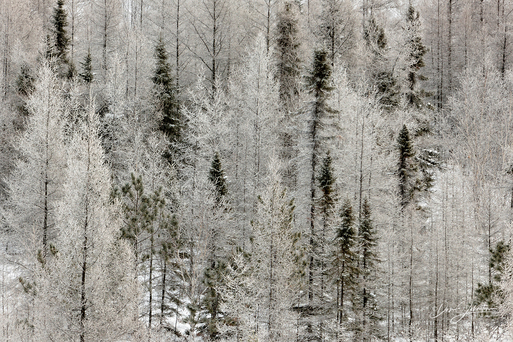 Birch and spruce trees with fresh frost, Greater Sudbury (Lively), Ontario, Canada