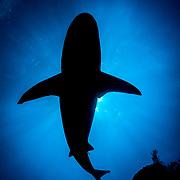 Silhouette of a Caribbean reef shark (Carcharhinus perezi), Jardines de la Reina, Gardens of the Queen National Park, Cuba.