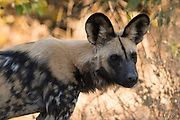 Portrait of an endangered African wild dog, Lycaon pictus.