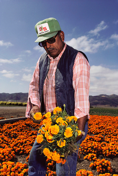 Farm workers cull variant marigold flower plants grown for seed: Lompoc, California.