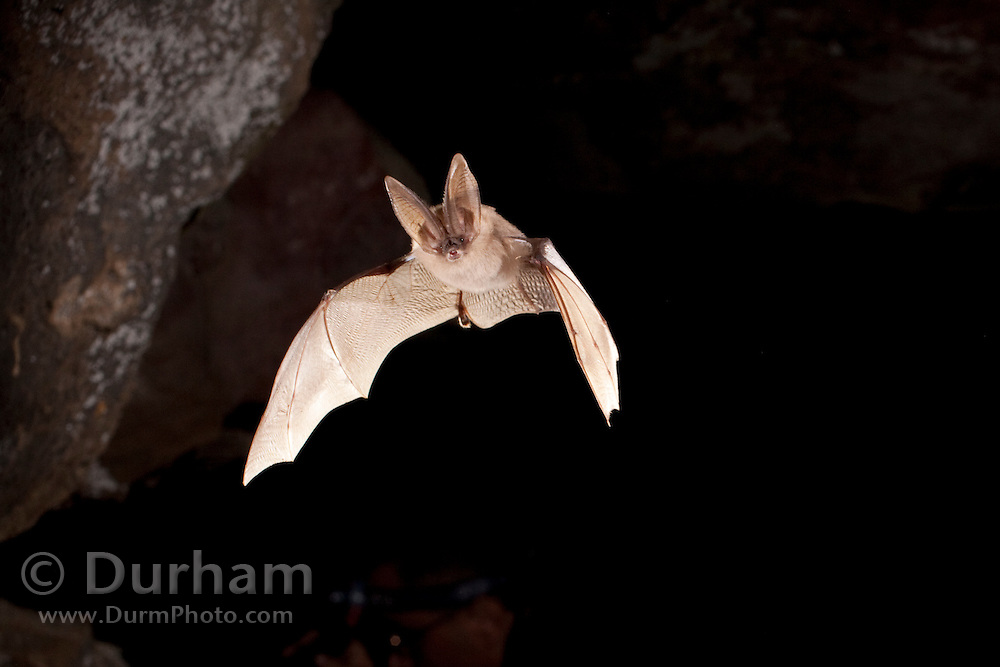 A townsend's big-eared bat (Corynorhinus townsendii) exiting Pond Cave in Craters ofthe moon National Monument, Idaho.