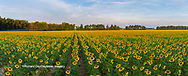 63801-06916 Sunflower field Jasper Co.  IL