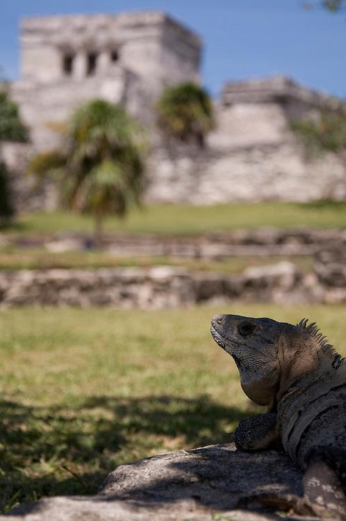 Spiny-tailed or Black Iguana (Ctenosaura similis) in Tulum archeological site, Mexico, June 2009. (Photo/William Byrne Drumm)