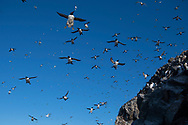 Common guillemots, Uria aalge, and Brunnichs guillemots, Uria lomvia,  Hornoya, Varanger, Finnmark, Norway