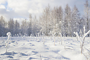 Snow covered meadow and young forest stand of birch trees (Betula sp.) on snowy winter day, Vidzeme, Latvia Ⓒ Davis Ulands | davisulands.com