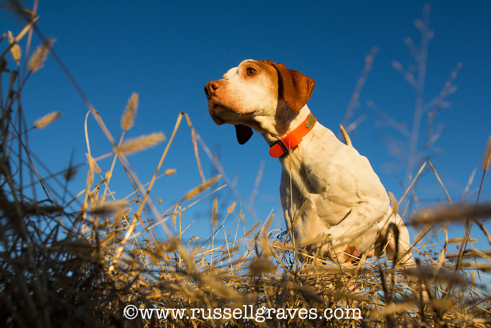 LOW ANGLE OF AN ENGLISH POINTER