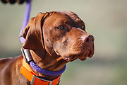 SHOT 5/9/20 8:35:25 AM - Various pointing breeds compete in the Vizsla Club of Colorado Licensed Hunt Test Premium at the Rocky Mountain Sporting Dog Club Grounds in Keenesburg, Co. (Photo by Marc Piscotty / © 2020)