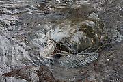 Hilo, Hawaii, USA. Green sea turtle (Chelonia mydas)