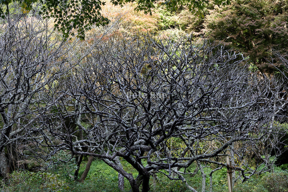 garden tree with many branches and twigs during autumn season