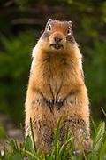 Columbian Ground Squirrel in Glacier National Park