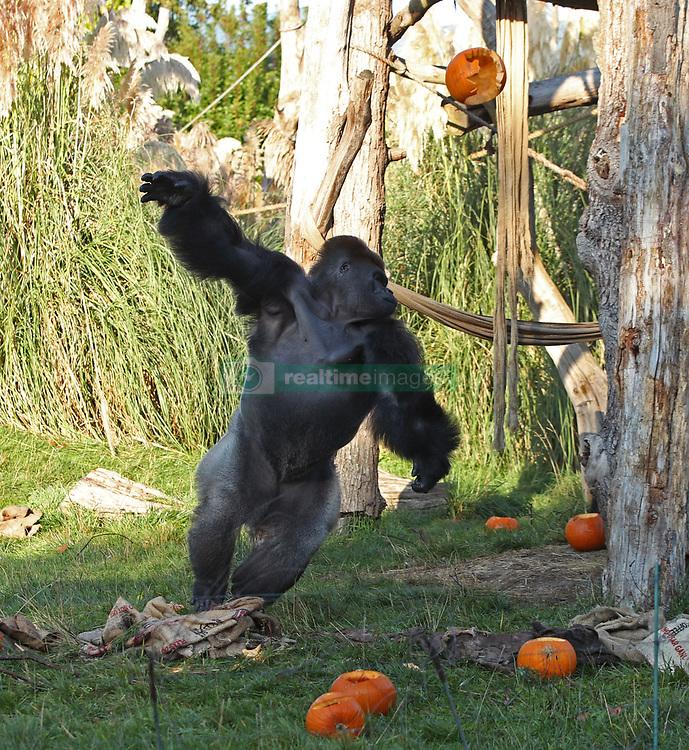Kumbuka the silverback gorilla throws pumpkins in the air during a photo call ahead of Halloween, at London Zoo.