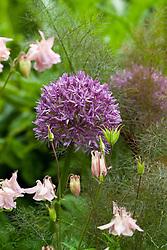 Allium aflatuense with pink aquilegia and fennel foliage