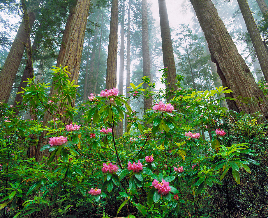 Rhododendron bloom at the foot of towering redwoods in Redwood National Park, northern California, a World Heritage Site.