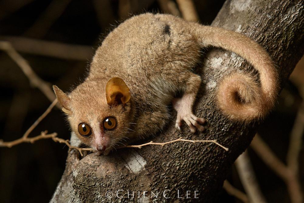 Grey Mouse Lemur (Microcebus murinus). Kirindy Reserve, Madagascar.