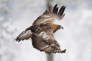 A golden Eagle bird, Aquila chrysaetos, adult male, flying in Kalvtrask, Vasterbotten, Sweden