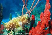 bridled burrfish, Chilomycterus antennatus,<br /> and red sponge, Islamorada, Florida Keys National Marine <br /> Sanctuary ( Western Atlantic Ocean )