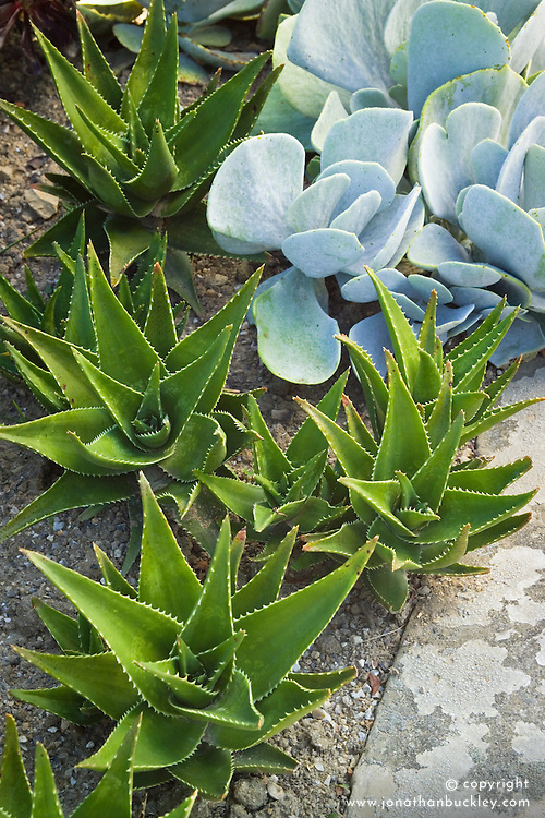 Aloe mitriformis growing with Cotyledon orbiculata at Great Dixter