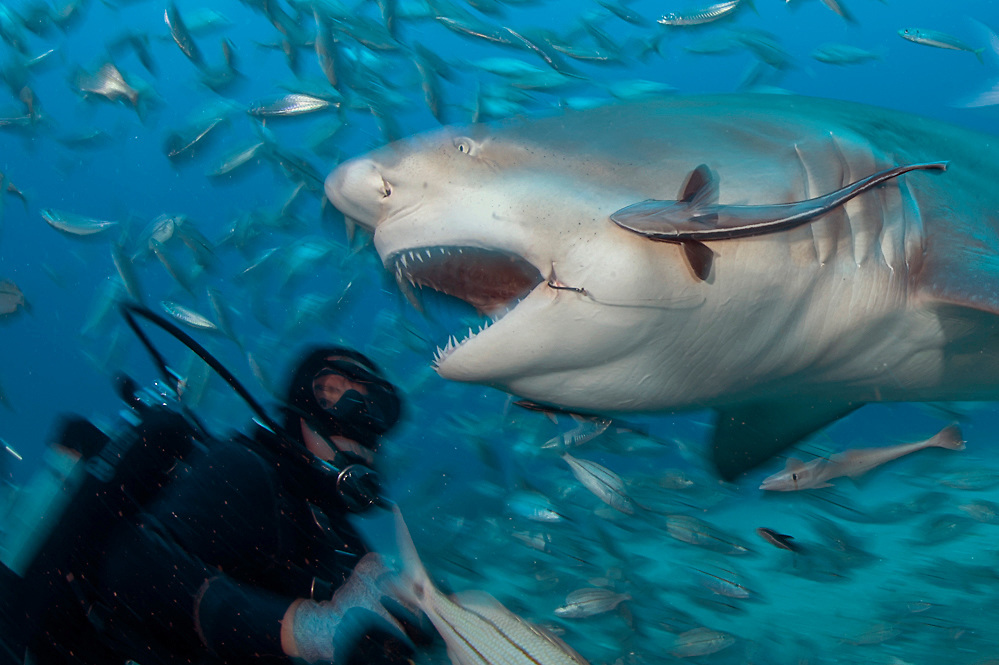 Lemon Shark, Negaprion brevirostris, a threatened and protected species, during a baited shark dive in Federal waters offshore Jupiter, Florida, United States.