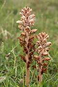 Common Broomrape, Orobanche minor, Sandwich, Kent UK, holoparasitic angiosperm belonging to the genus Orobanche; non-photosynthetic plants that parasitize other autotrophic plants