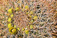 Barrel Cactus flowers (Ferocactus) in the Anza Borrego Desert, California