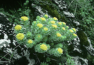 ROSEROOT - Rhodiola rosea (Crassulaceae) Height to 30cm<br /> Distinctive, greyish perennial associated with mountain ledges and sea cliffs. FLOWERS are yellow and 4-petalled; borne in terminal, rounded clusters (May-Jul). FRUITS are orange and superficially like the flowers. LEAVES are succulent, oval and overlapping.