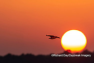 00783-01814 Osprey (Pandion haliaetus) in flight at sunset Rend Lake Jefferson Co. IL