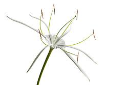 Hymenocallis-Beach Spider Lily#4