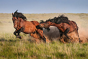 Chaos on the Prairie when a young wild mustang challenger gets too close to the Stallion's band of mares and foals.