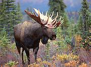 Moose bull in Alaska Range.