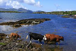 July 21, 2019 - County Cork, Ireland, Near Eyeries, Cattle (Credit Image: © Peter Zoeller/Design Pics via ZUMA Wire)