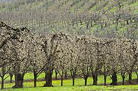 Orchards, Hood river Oregon