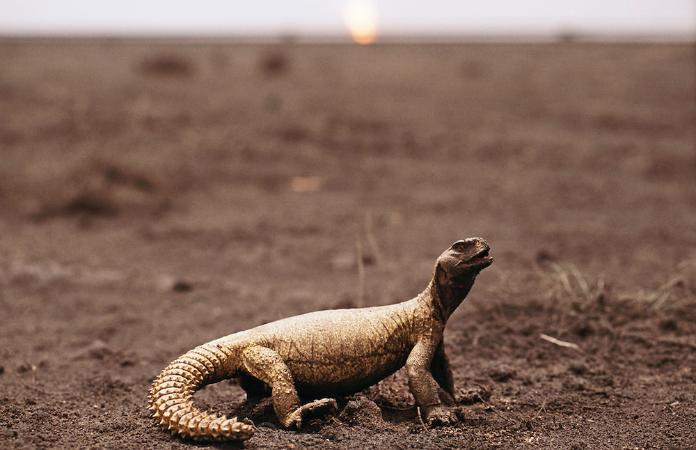 A lizard with feet caked with oil in the Al-Burgan oil field after the Gulf War in 1991. More than 700 wells were set ablaze by retreating Iraqi troops creating the largest man-made environmental disaster in history.
