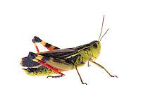 IFTE-NB-007307; Niall Benvie; Arcyptera fusca; Austria; grasshopper; Europe; Tirol; Fliesser Sonnenhänge; insect arthropod invertebrate; horizontal; high key; red green white; controlled; male; adult; one; meadow grassland upland; 2008; July; summer; strobe backlight; Wild Wonders of Europe Naturpark Kaunergrat