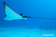 spotted eagle ray, Aetobatus narinari, showing venomous barbs at base of tail, at Eagle Ray City, Saipan, Commonwealth of Northern Mariana Islands, Micronesia ( Western Pacific Ocean )