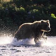 Alaskan Brown Bear, (Ursus middendorffi) Kodiak National Wildlife Refuge.Fishing for spawning salmon. Kodiak, Alaska.