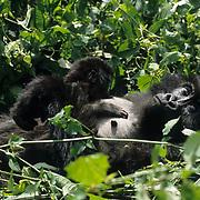 Mountain Gorilla (Gorilla gorilla beringei) mother nursing her baby in Volcanoes National Park