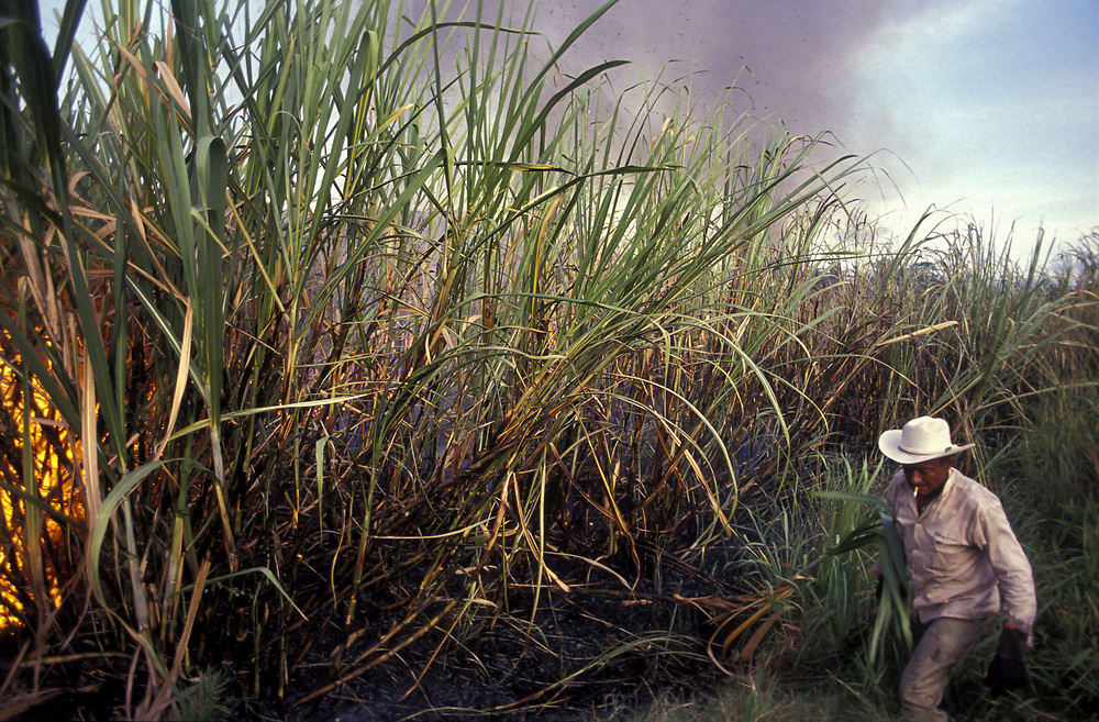 Harvesting sugar cane is tough and violent job, near Cali, Valle