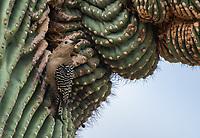 A female Gila Woodpecker, Melanerpes uropygialis, approaches its nest cavity in a Saguaro cactus, Carnegiea gigantea, in the Desert Botanical Garden, Phoenix, Arizona