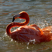 Caribbean or West Indian Flamingo (Phoenicopterus ruber ruber) Taking a bird bath. San Diego Zoo. California. Captive Animal.