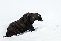 Antarctica Fur Seal at Orne Harbour, Antarctica.