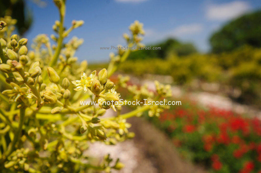 Blossoms in an avocado Plantation. Photographed in Israel in March