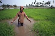 PEASANT FARMING, Malaysia. Peasant farmer standing in rice padi. Kedah state. World Bank funded  project. Poor farmers, peasants, planting, harvesting, cultivating rice padi.