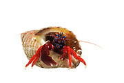 [captive] Blood-red hermit (Pagurus edwardsi) [size of single organism: 4 cm] Comau Fjord, Patagonia, Chile |