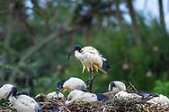 African sacred ibis-Ibis sacré (Threskiornis aethiopicus), Hluhluwe-Umfolozi parc, Kwazulu-Natal, South Africa.