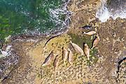 Harbor Seals Resting in the Sun on a Rock off Treasure Island Park Beach in Laguna Beach