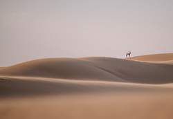 """The story of the Arabian Oryx is both a sad and virtuous tale about wildlife conservation. The Arabian Oryx was extinct in the wild by the early 1970s and could only be saved by zoos and private reserves. In the 1980s it was reintroduced back in the wild and reverted back to """"vulnerable"""" status on the IUCN Red List in 2011. Today there are estimates that over 1,000 Arabian Oryx room the wild again (while there's still more of them in captivity). This tale should serve as a warning for how we humans treat other species who are on the brink of extinction, but also as inspiration, that we still have a way to reverse and take a different path to protect and preserve those unique species of our planet.<br /> <br /> BIO: Marion Payr (@ladyvenom) is a travel photographer based in Vienna, Austria. She is better known, however, as @ladyvenom on Instagram, where she provides insights into her travels from Zambia to Jordan and Cape Verde, the Faroe Islands, India and many more. At the centre of her work stands a dedication to the natural world and the power of imagery to conserve these wild and free places for future generations. Marion dedicates much of her career to female empowerment, believing an equal representation of voices & images supports a vision of a united world in the spirit of togetherness. In 2020 she initiated the """"Prints For Wildlife"""" fundraiser which raised over 660,000 dollars within just a month through the outstanding contributions of over 100 wildlife photographers - both industry leaders and young emerging & local talents. Through """"Prints for Wildlife"""" she has learned yet again how powerful photography can be to evoke emotions and ignite actions - what a wonderful way to help shape the world of today and tomorrow.<br /> <br /> WEBSITE: thetravelblog.at<br /> INSTAGRAM: @ladyvenom"""