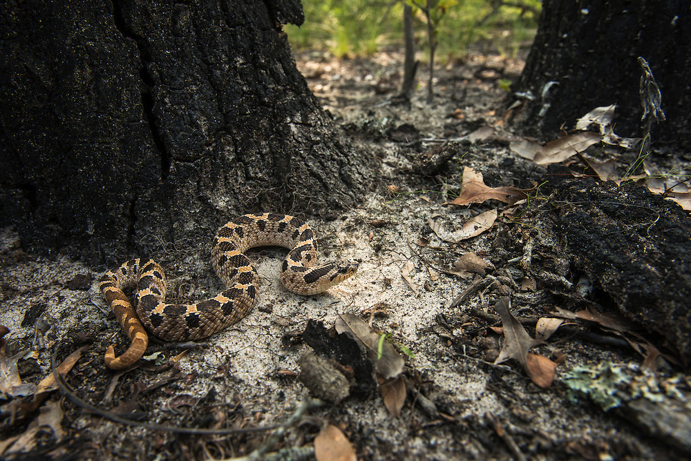 Southern Hognose Snake (Heterodon simus)<br /> CAPTIVE<br /> USA<br /> HABITAT & RANGE: Coastal Plain of Southern USA from North Carolina to s. Mississippi and Florida