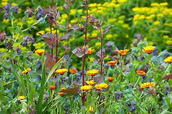 Calendula 'Indian Prince' (marigold) with Atriplex hortensis, Cerinthe major 'Purpurascens' and euphorbia in the cutting garden