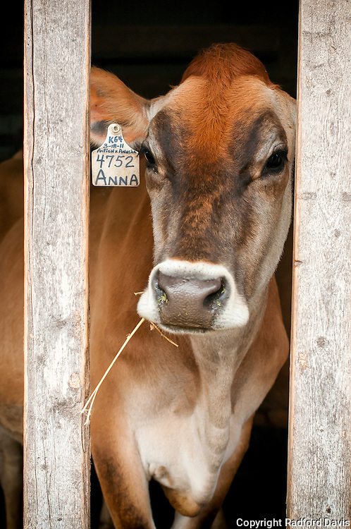 Anna, a Jersey cow, relaxes cooly as she gazes out at me from her barn.