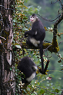 Two Yunnan, or Black Snub-nosed monkey, Rhinopithecus bieti, sitting in a tree at Ta Cheng Nature reserve, Yunnan, China